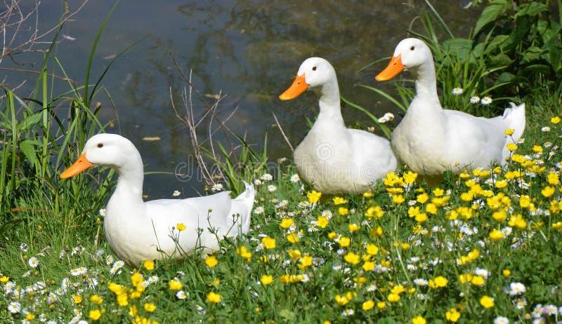 白色鸭子春天 图库摄影