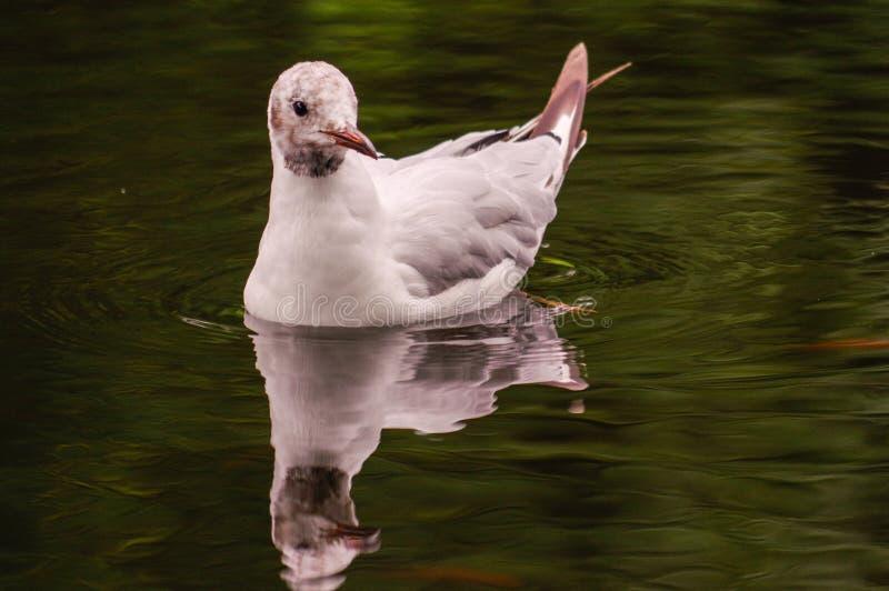 白色鸭子游泳在池塘 仍然浮游物行动 与暗影和反射的水 库存照片