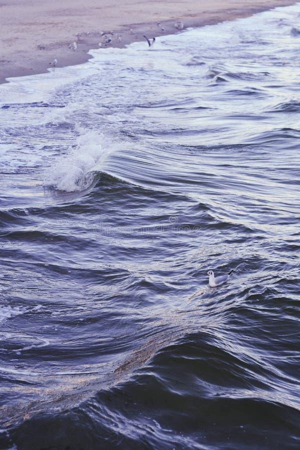 白色鸭子游泳在波浪深蓝海,当海鸥是坐和飞行由海滩时 库存照片