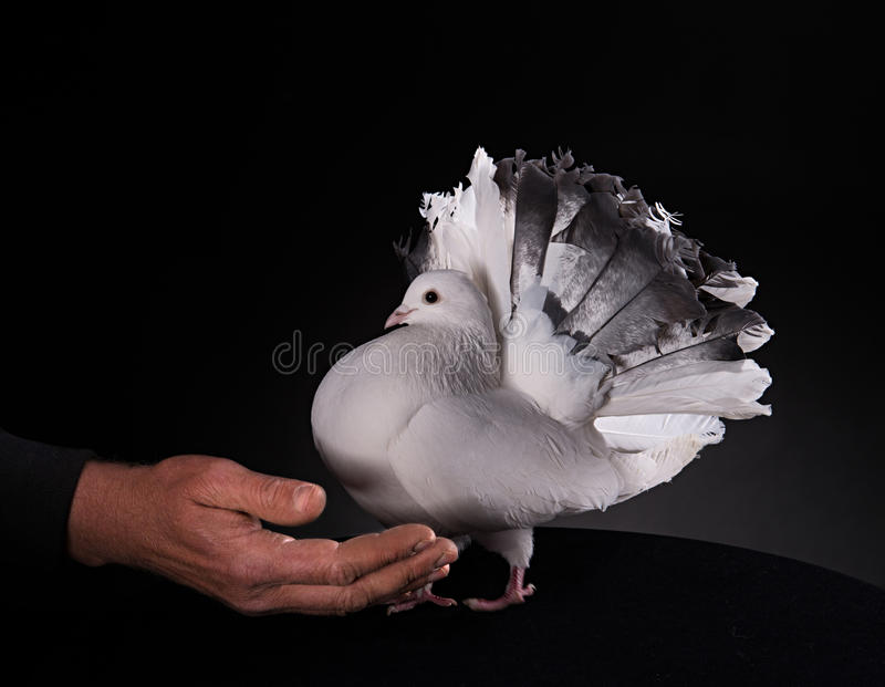 白色鸽子和男性手 库存图片