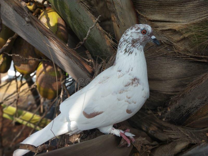 白色鸽子 库存照片