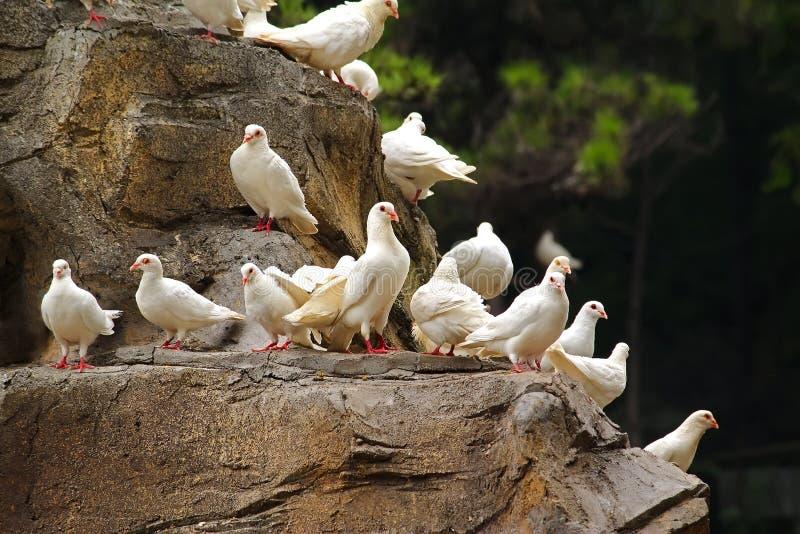 白色鸽子 免版税图库摄影