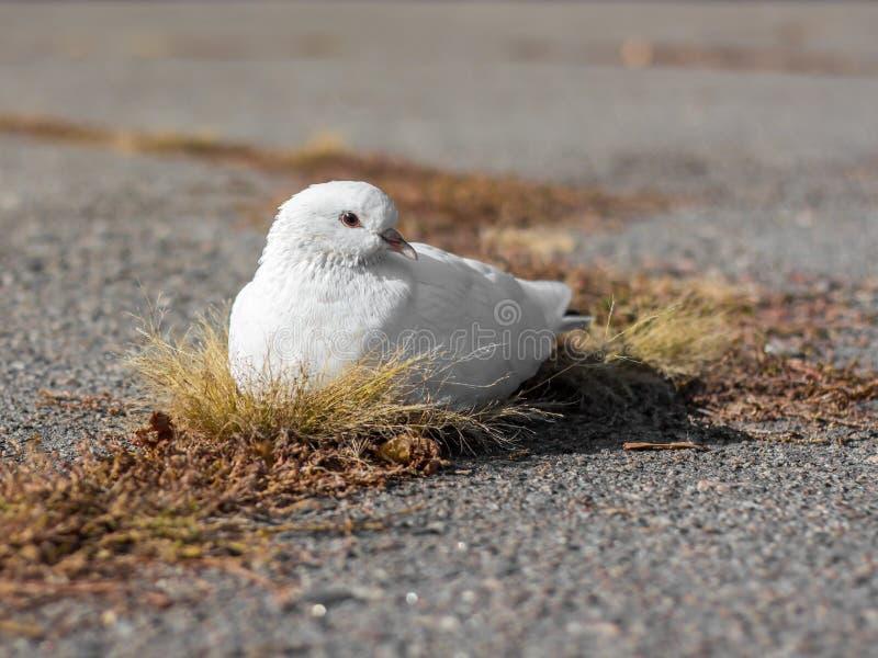 白色鸽子 图库摄影