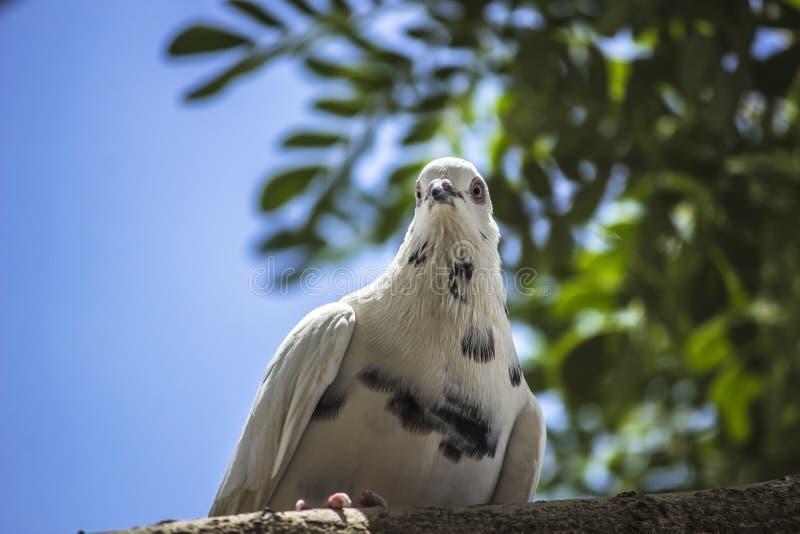 白色鸽子 库存图片