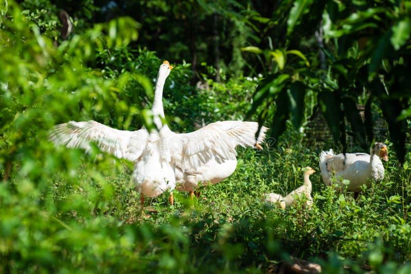 白色鹅拍动翼在一个绿色庭院里 图库摄影