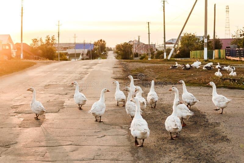 白色鹅步行沿着向下路在村庄 免版税库存照片
