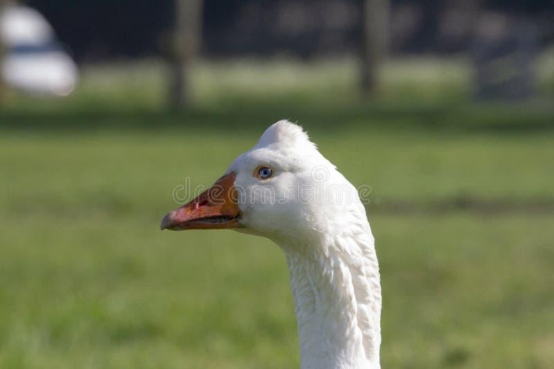白色鹅,埃姆登鹅,与橙色额嘴和小丘在头 免版税库存图片