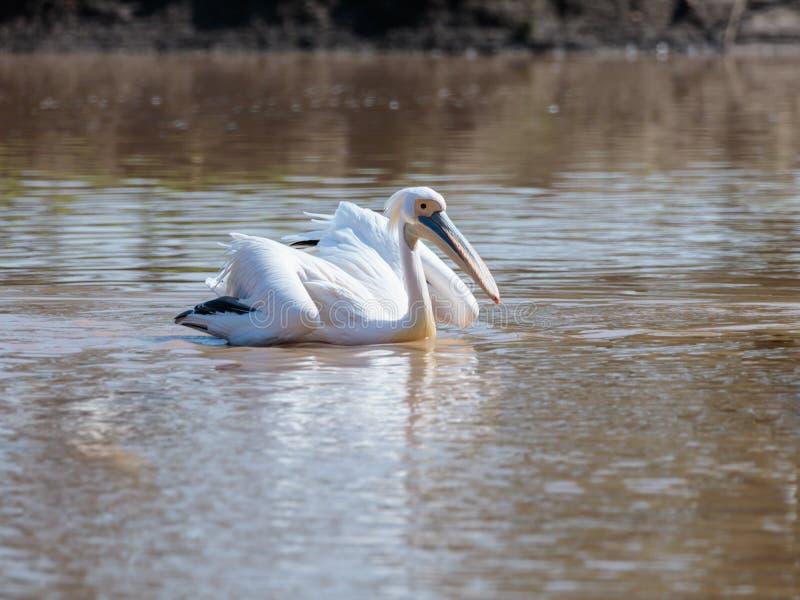 白色鹈鹕在涂它的翼在一个晴天和寻找食物的水游泳 免版税库存照片