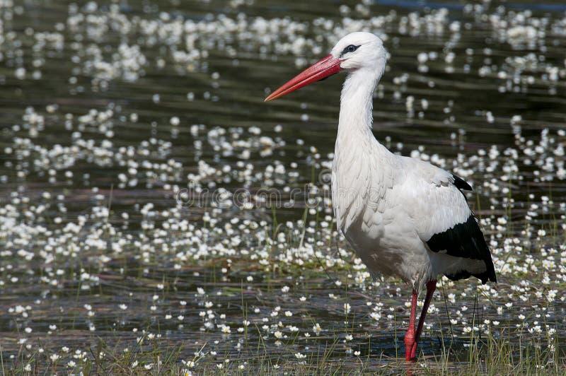 白色鹳在水的Ciconia ciconia 免版税库存图片