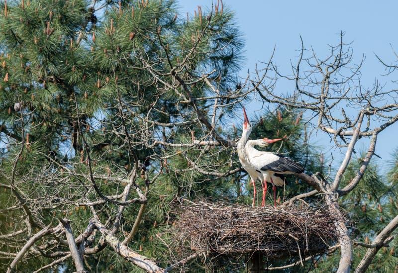 E 白色鹳夫妇在勒泰克鸟类学储备的  免版税库存照片