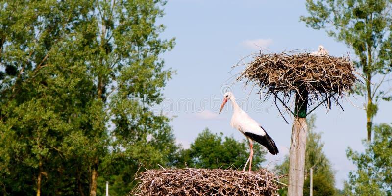 白色鹳的全景特写镜头在巢的 库存图片