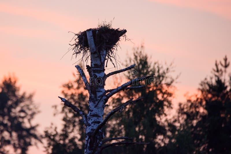 白色鹳空的巢,在日落期间 库存图片