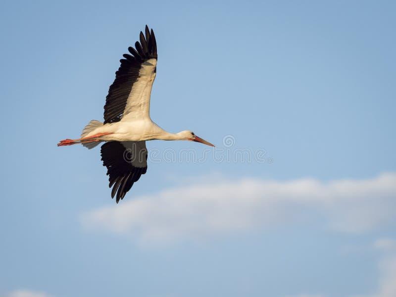 白色鹳飞行在云彩的Ciconia ciconia反对蓝色 免版税库存照片