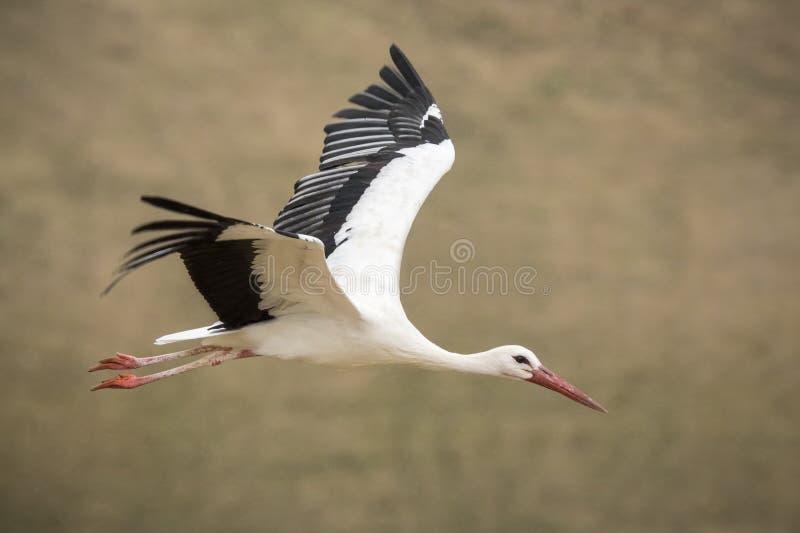 白色鹳(Ciconia ciconia)在飞行中 免版税库存图片