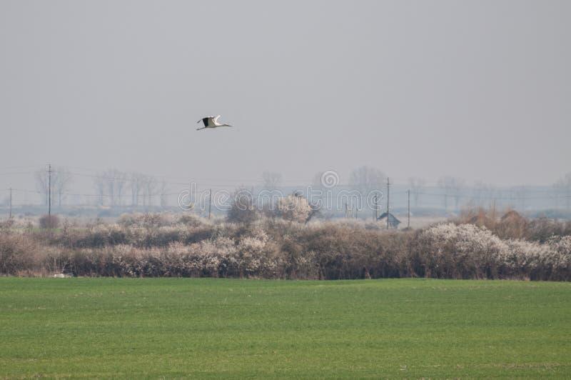 白色鹳Ciconia在领域和开花灌木的ciconia飞行 免版税库存图片