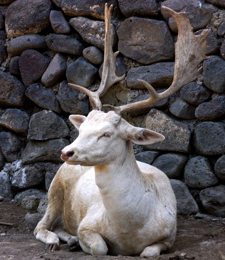 白色鹿雄鹿 免版税库存图片