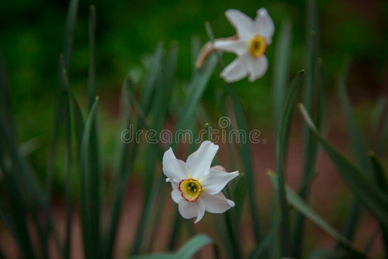 白色黄水仙特写镜头射击在庭院里 免版税库存照片