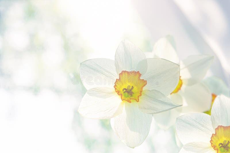 白色黄水仙特写镜头立场白花花束在窗口的 免版税库存图片