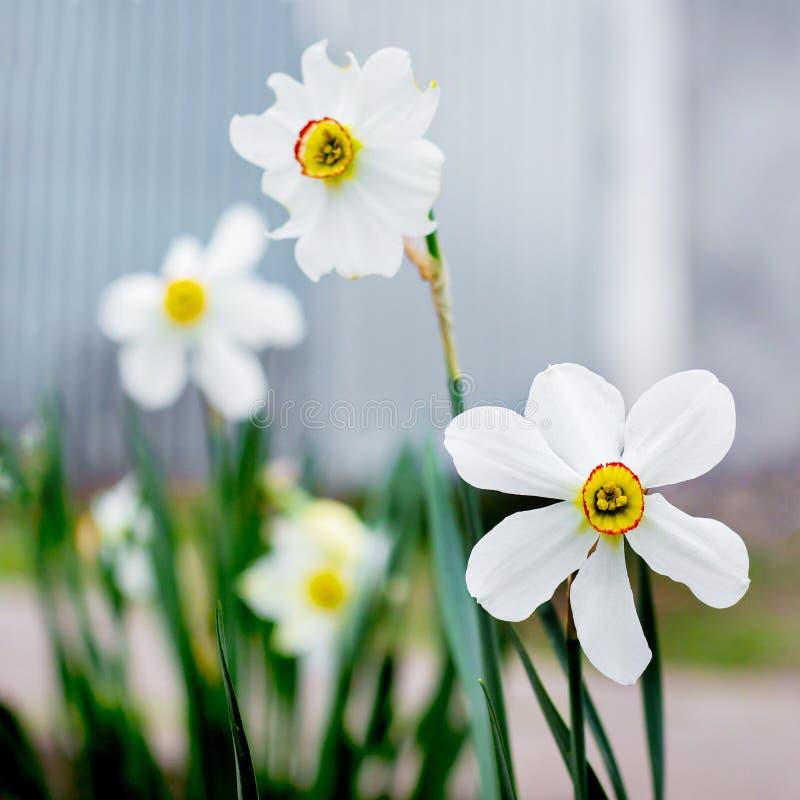 白色黄水仙绽放在庭院里 春天flowers_ 免版税库存照片
