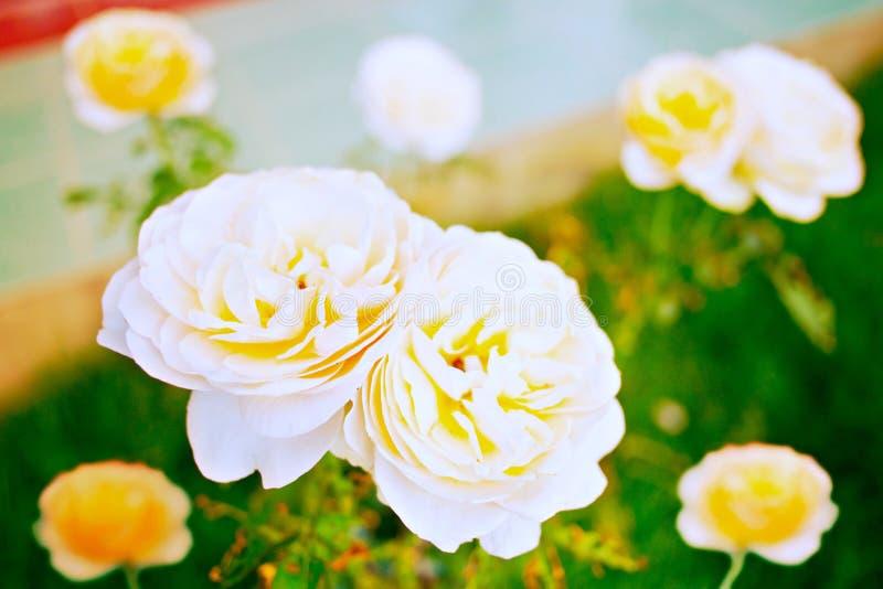 白色黄色玫瑰 免版税图库摄影