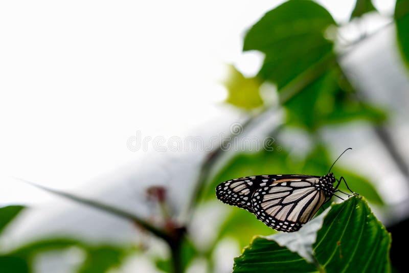 白色黑脉金斑蝶 免版税库存照片