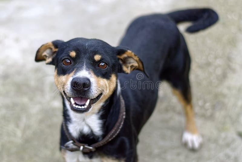 白色黑颜色的品种混血儿狗和的零件和淡褐颜色摇摆愉快 免版税库存图片