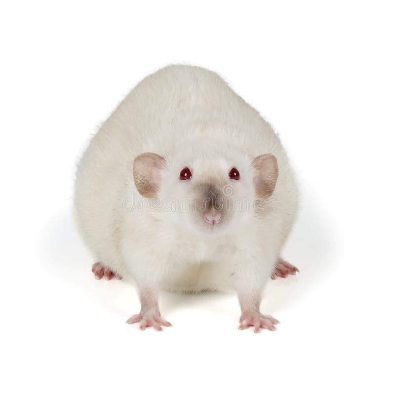 白色鼠 免版税库存图片