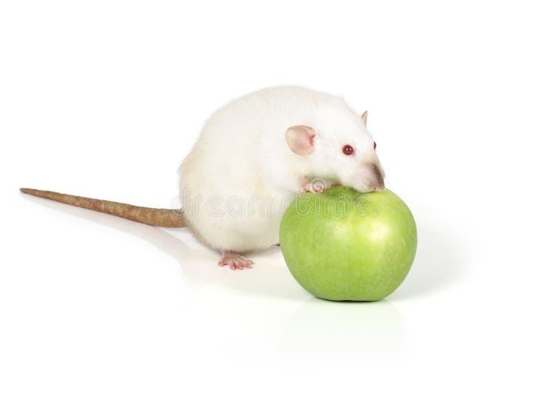 白色鼠 免版税库存照片