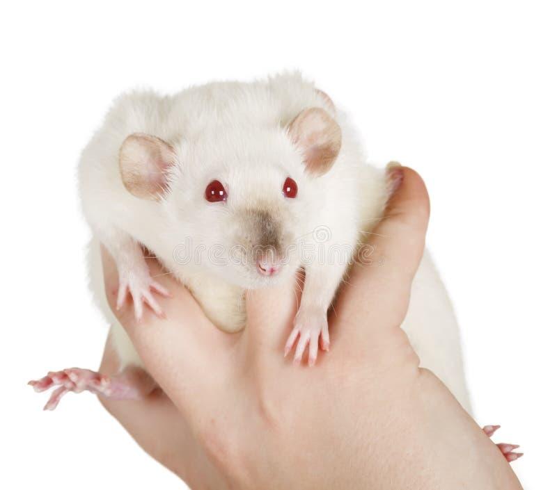 白色鼠 图库摄影