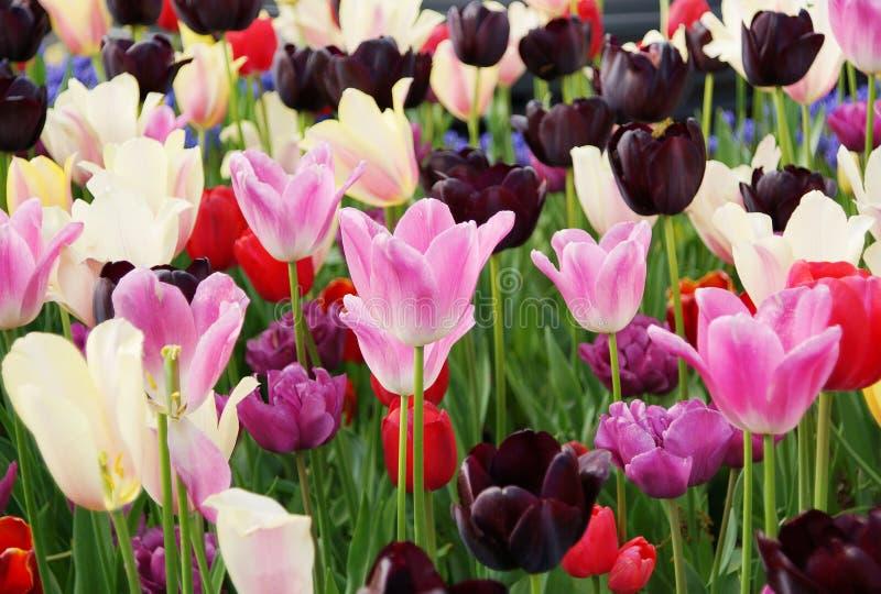 白色,桃红色和红色郁金香开花 免版税库存照片