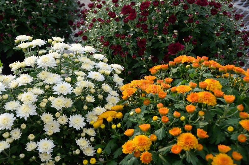 白色,桔子和红色妈咪带来秋天颜色 免版税库存图片