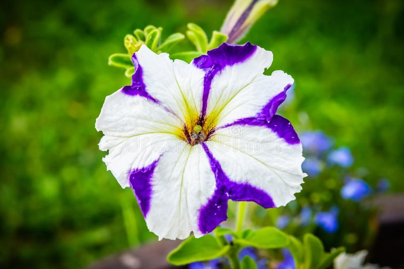 白色,紫罗兰色喇叭花大竺葵花宏观关闭从上面 蓝色花在背景中 r 库存图片