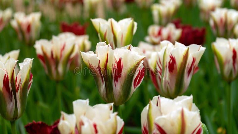 白色,红色和绿色Viridiflora郁金香在庭院里 图库摄影