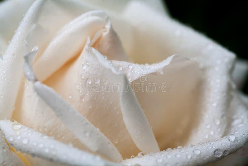 白色,美丽,精美玫瑰花瓣 免版税库存图片