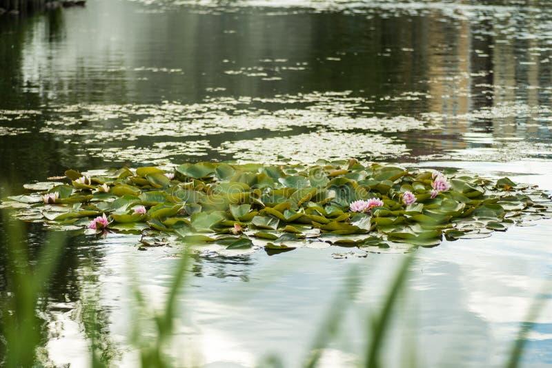 白色,黄色和桃红色waterlilies 免版税库存照片