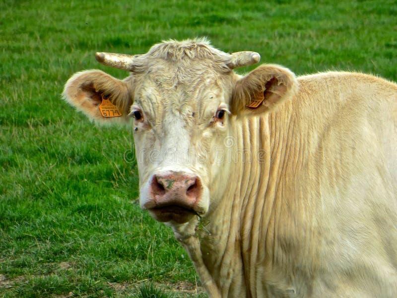白色年轻公牛 免版税库存图片