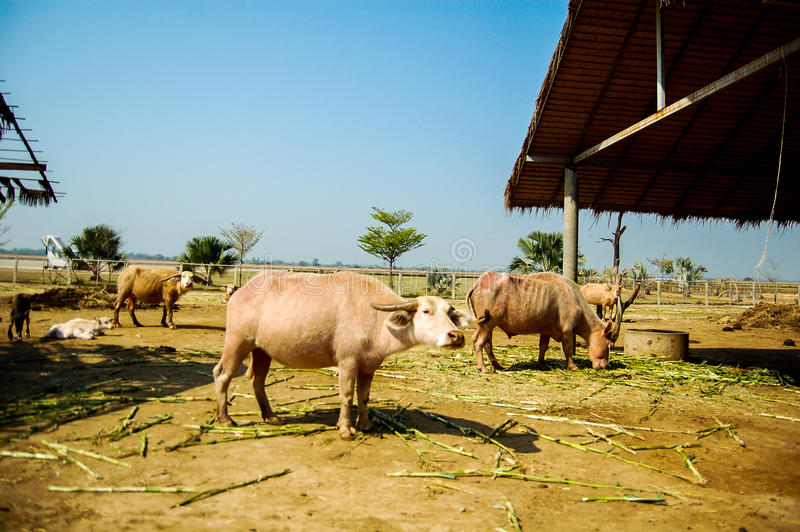 白色水牛 免版税图库摄影