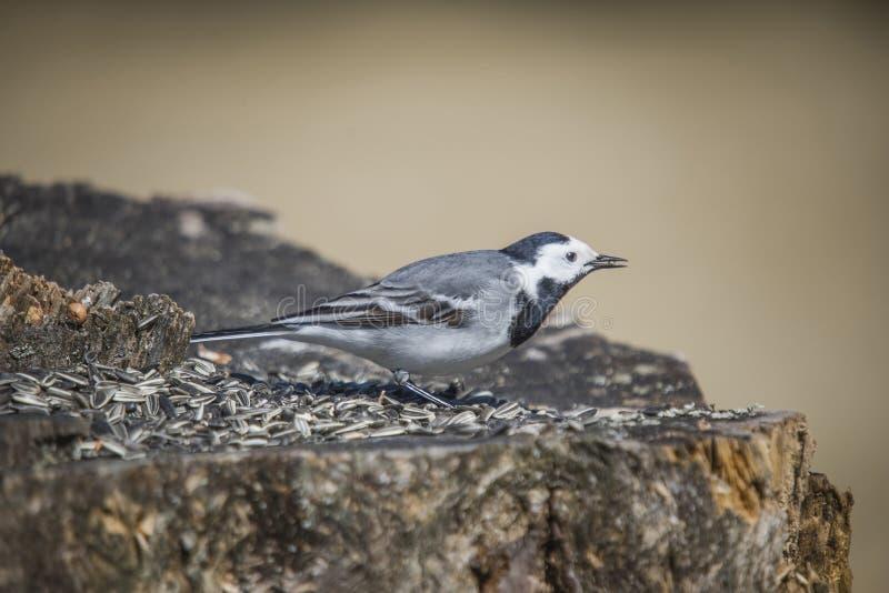 白色令科之鸟, motacilla晨曲在树桩 免版税库存图片