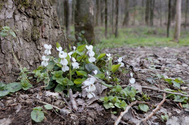 白色紫罗兰在一棵树下在春天森林里 库存图片