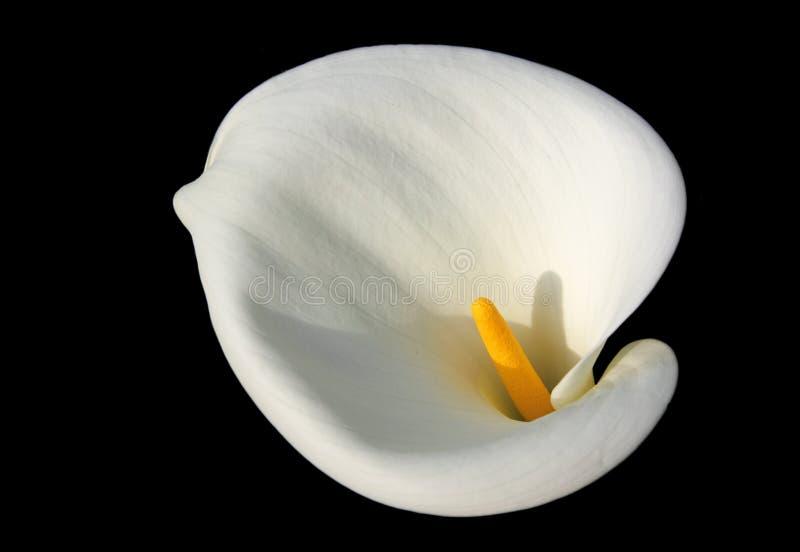 白色水芋属Lilly花 库存图片