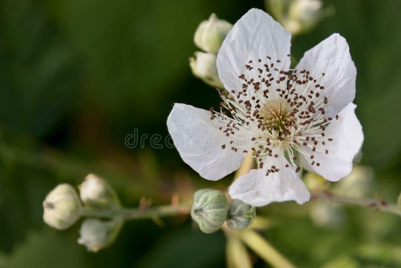 白色黑莓花 免版税库存图片