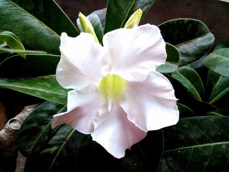 白色Adenium Obesum开花,点心罗斯 库存图片