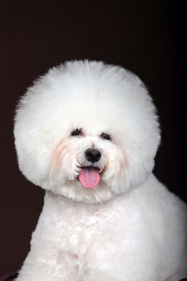 白色Bichon Frise狗 图库摄影