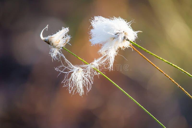 白色cottongrass的一个美丽的特写镜头在沼泽一个自然生态环境朝向生长 沼泽地植物群自然closup  免版税库存照片