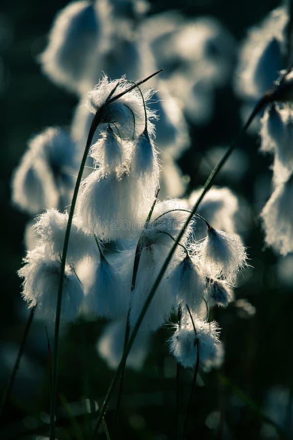 白色cottongrass的一个美丽的特写镜头在沼泽一个自然生态环境朝向生长 沼泽地植物群自然closup  库存图片