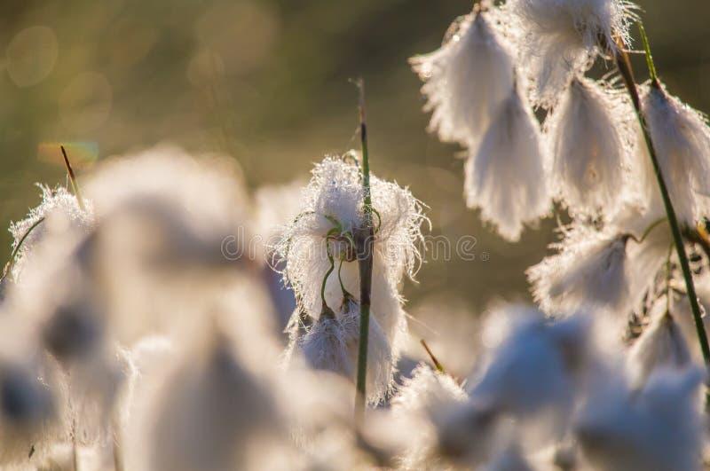白色cottongrass的一个美丽的特写镜头在沼泽一个自然生态环境朝向生长 沼泽地植物群自然closup  库存照片