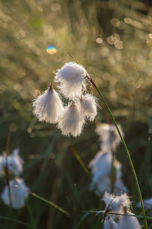 白色cottongrass的一个美丽的特写镜头在沼泽一个自然生态环境朝向生长 沼泽地植物群自然closup  图库摄影