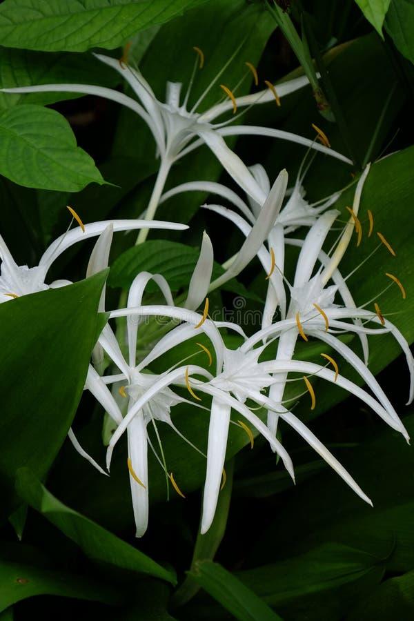 白色Crinum Lillies在雨林里 免版税图库摄影