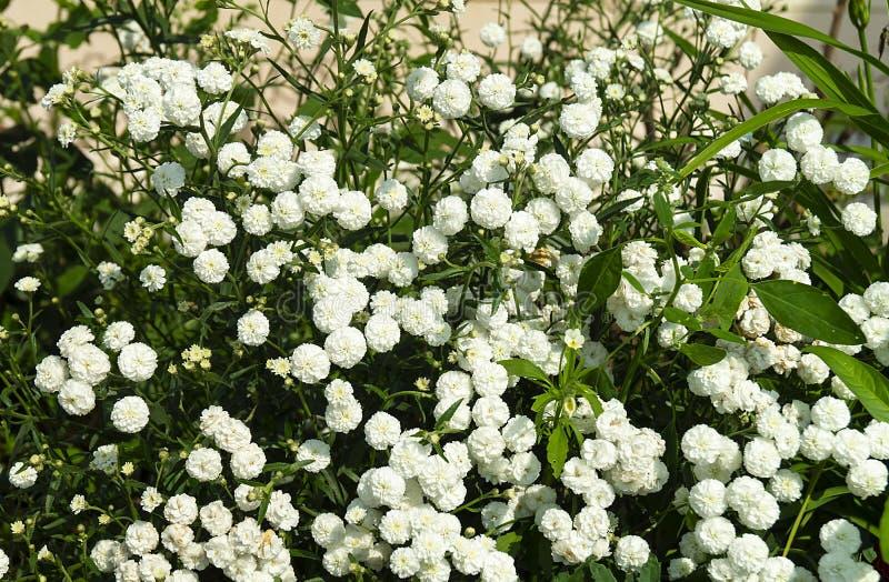 白色flowerses麦在庭院里 库存图片