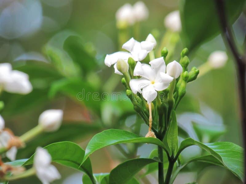 白色Gerdenia绉纱茉莉花花在庭院里开花 库存图片